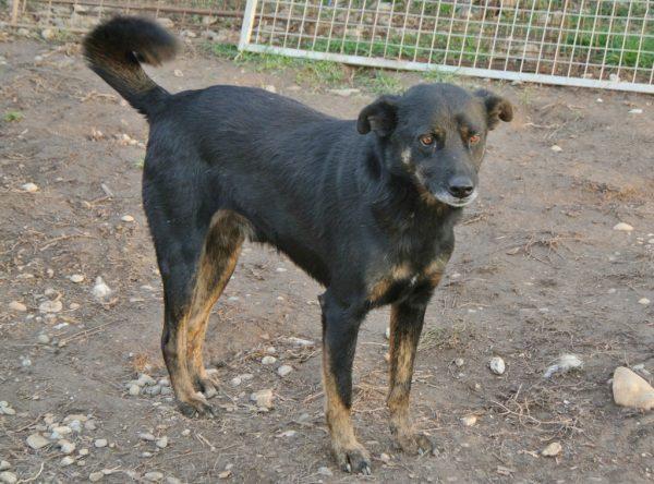 Hond Siran in het asiel in Roemenië