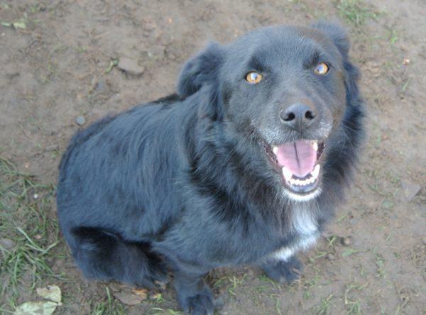 Tigu middelgroot zwart hondje