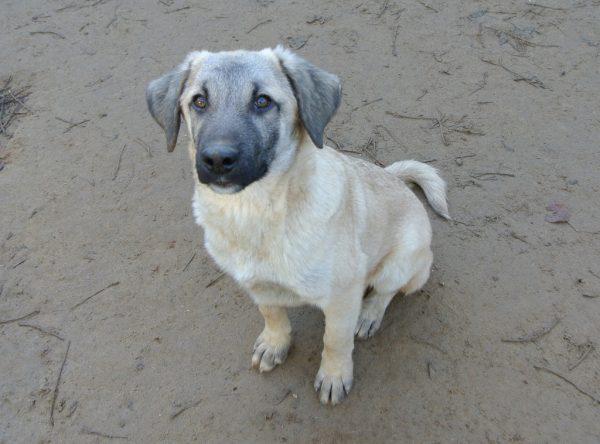Pup Bono mix labrador x herder