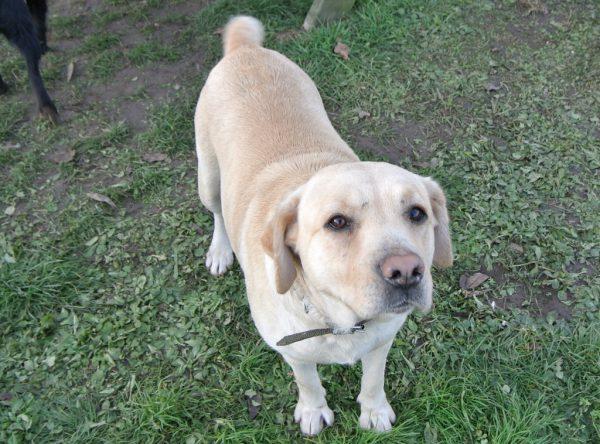 Maya blonde labrador