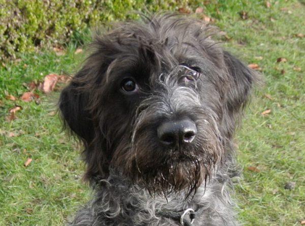Sisko mix Duitse staande hond draadhaar