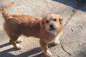 Pup Billy golden mix