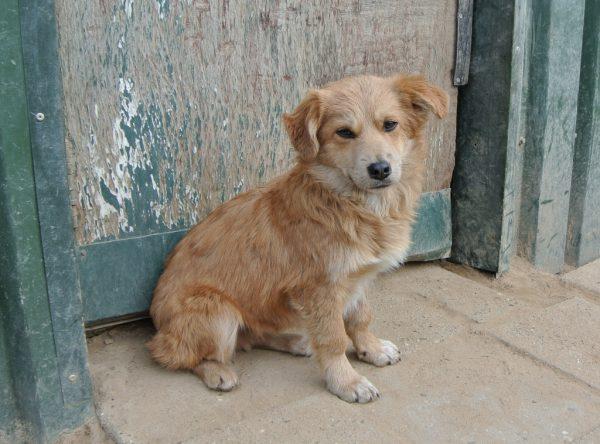 Pup Billy golden boy