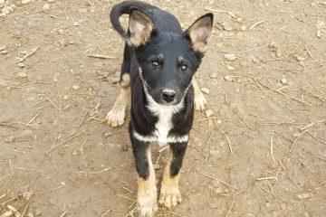 Pup Desi