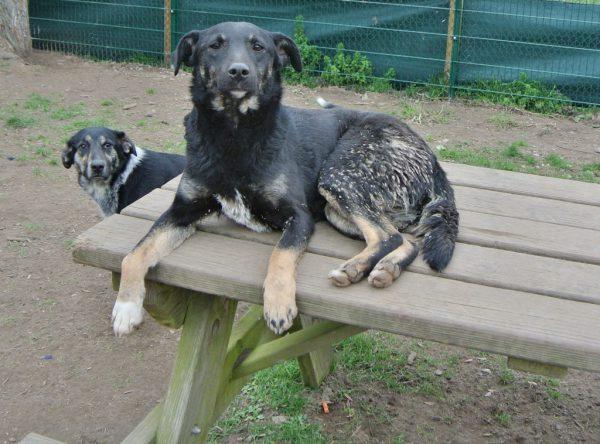 Gia zwart medium hondje