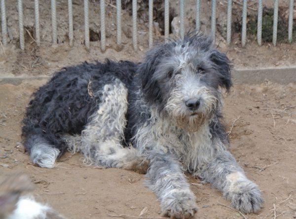 Pup Noel Roemeense Mioritic herder mix