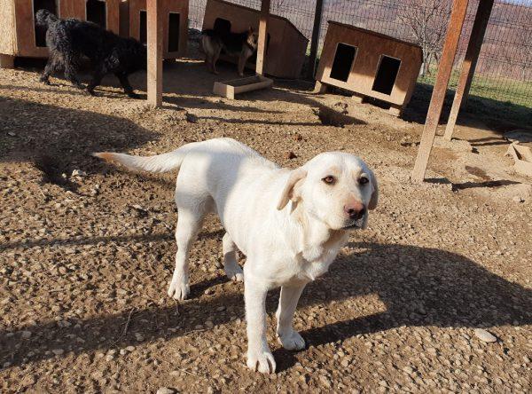 Labrador Lala