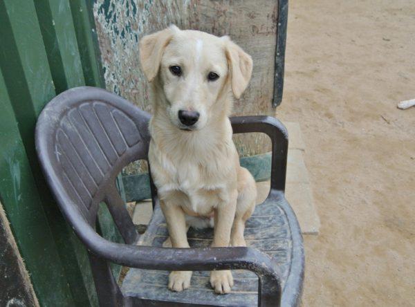 Pup Tedy labrador mix