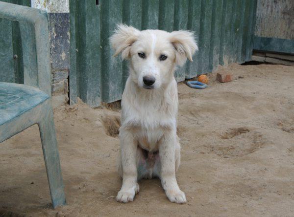 Puppy Toby labrador retriever mix