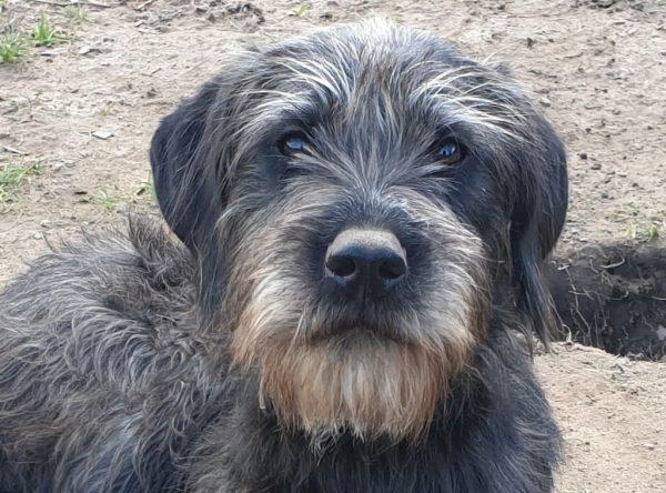 Vaja mix Duitse staande hond draadhaar