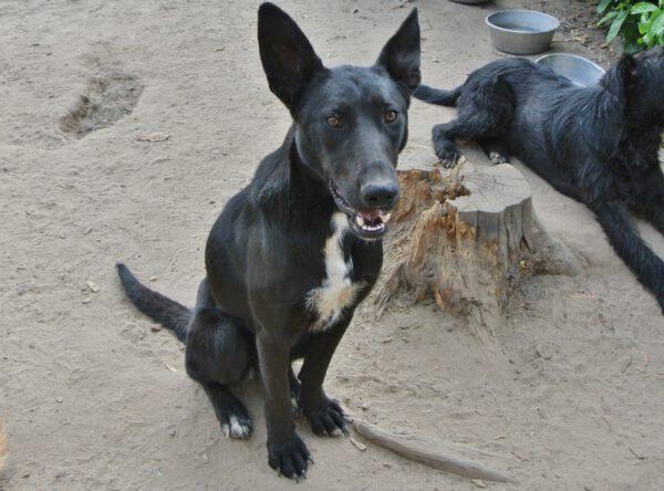 Marina zwarte hond met grote oren