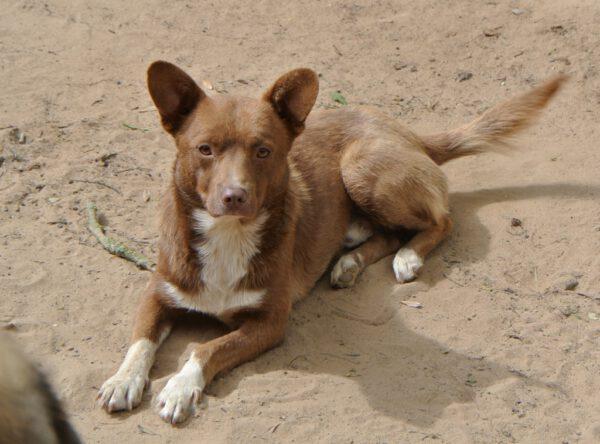 Buddy klein bruin hondje