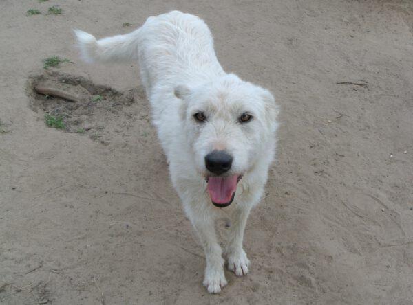 Sylver witte ruwharige hond
