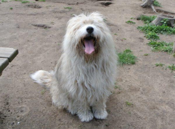 Bella langharige hond