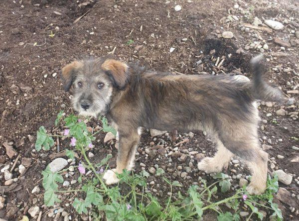 Buflea puppy van 4 maanden
