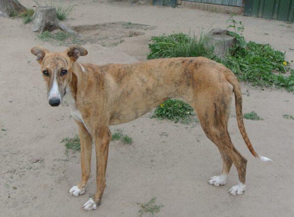 Ogi lieve greyhound ter adoptie
