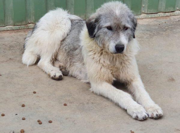 Puffi Roemeense herdershond