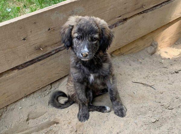 Cooper pupje uit Roemenië