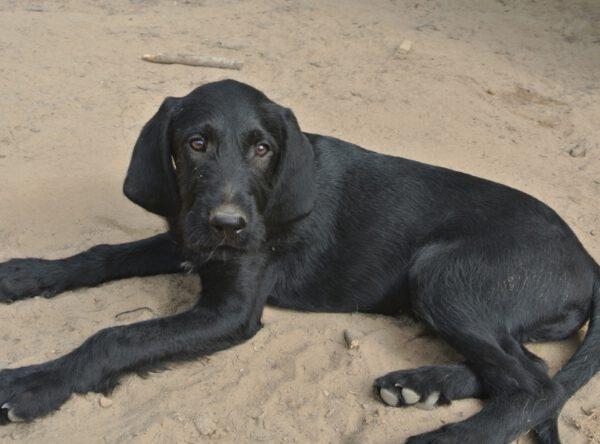 Puppy Sjors zwarte mix