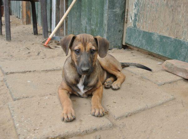 Pup Balou bruin hondje