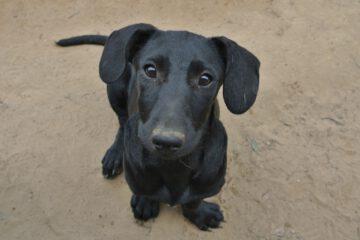 Brigi zwart pupje
