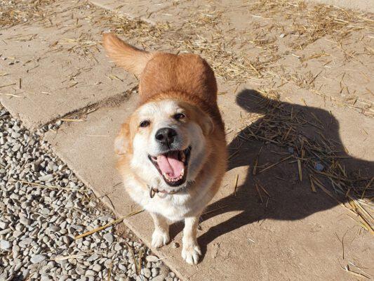 Galbena gouden hondje