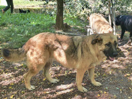 Alma lieve herdershond