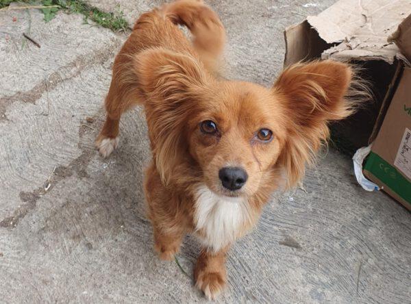 Choco mini hondje met vlinderoortjes