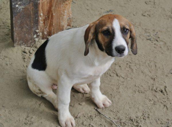Pup Dani kruising beagle