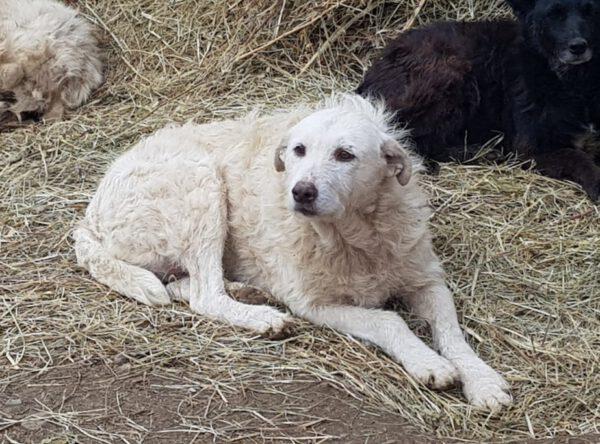 Laura witte kudde waakhond