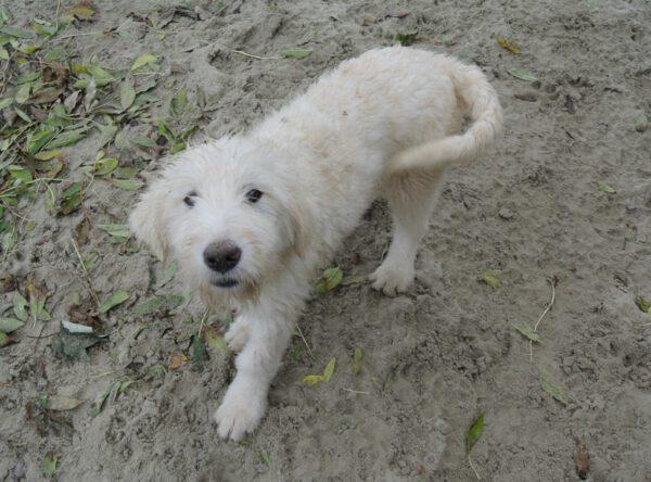 Pup Rena Mioritic herder