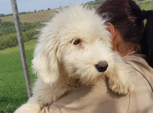 Pup Rona Roemeense Mioritic herdershond
