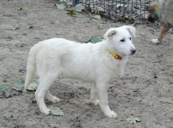 Pup Candy witte herder mix