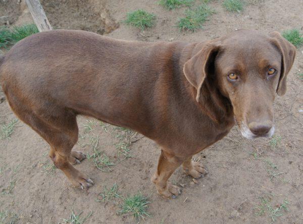 Carolina chocolade bruine hond