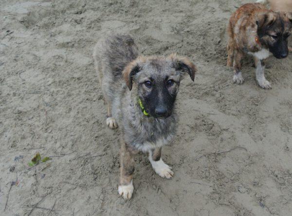 Pup Coco met grijze vacht