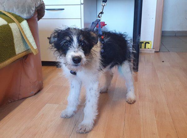 Puppy Dolly zwart wit ruwhaartje