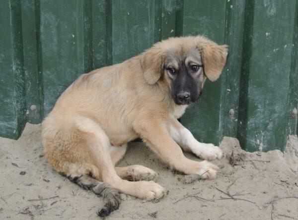 Pup Jayla blonde mix