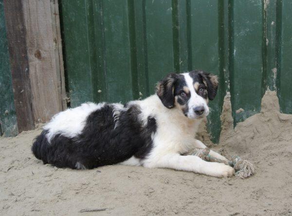 Pup Joelle zwart met wit