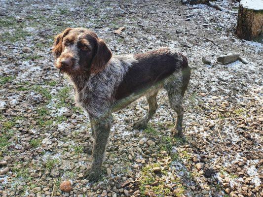 Lyan Duitse Staande Hond draadhaar lookalike
