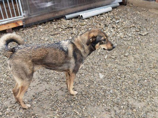 Sclipici jonge hond uit Roemenië
