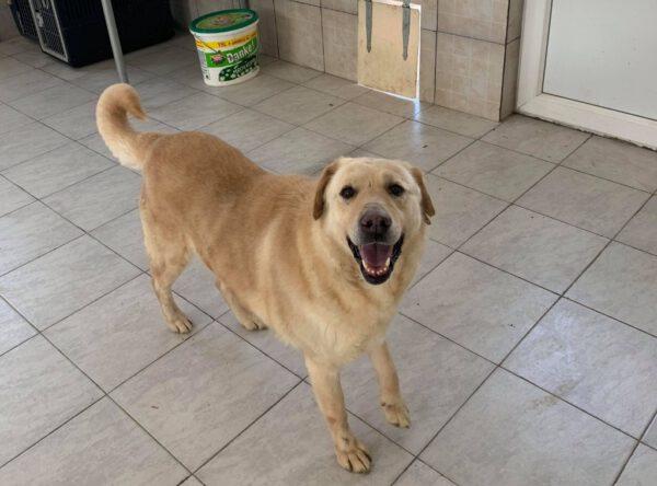 Bella blonde labrador
