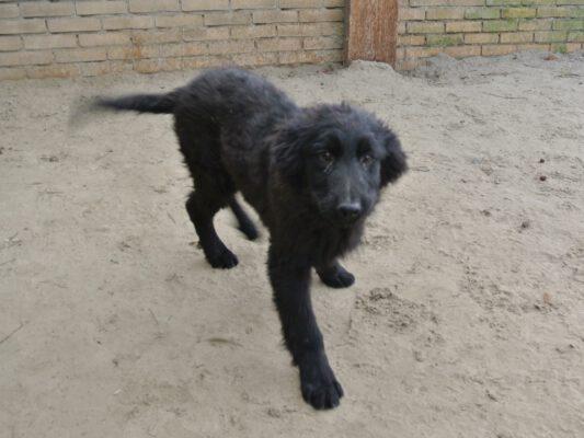 Puppy Vlad zwart reutje