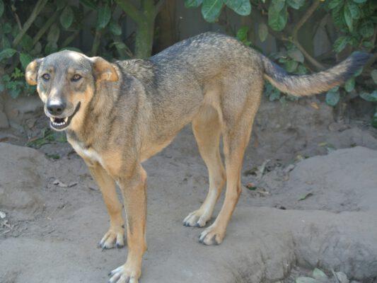 Cica wolfsgrauwe hond