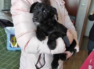 Puppy Fabi zwart ruwhaartje