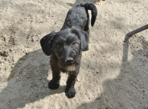 Pup Fabi zwart ruwharig ventje