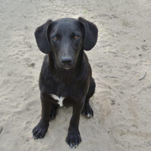 Marco zwarte hond met hangoren