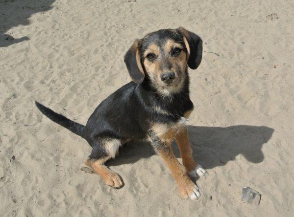 Pup Sabi met leuke hangoren
