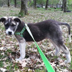 Pup Eddie oefent aan de riem