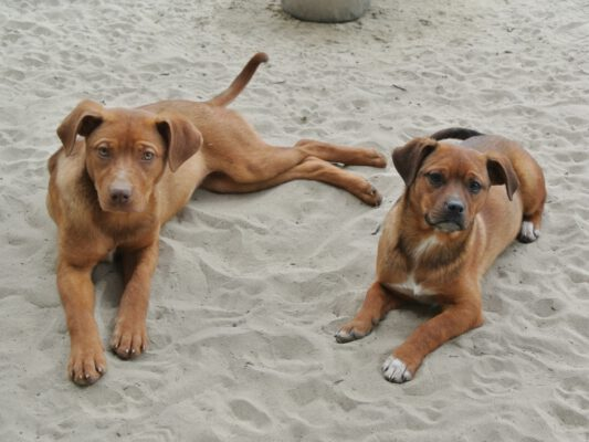 Puppies Tibru en Tisa