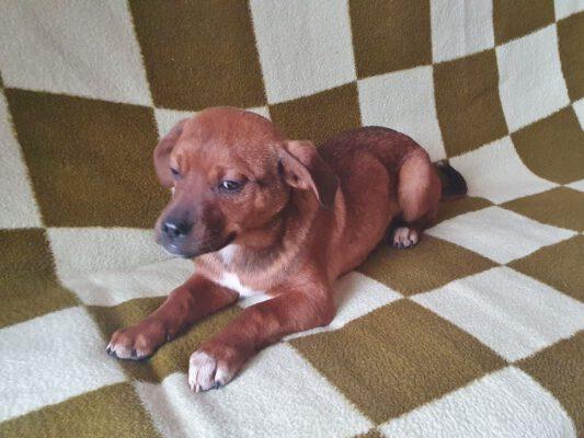 Pup Tisa bruin hondje
